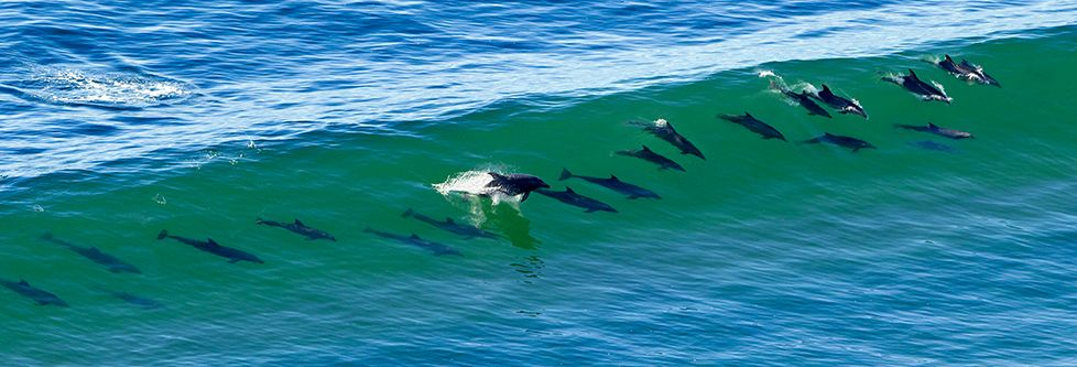 21 Dolphins Surf Off The Shore Of La Jolla CA In This