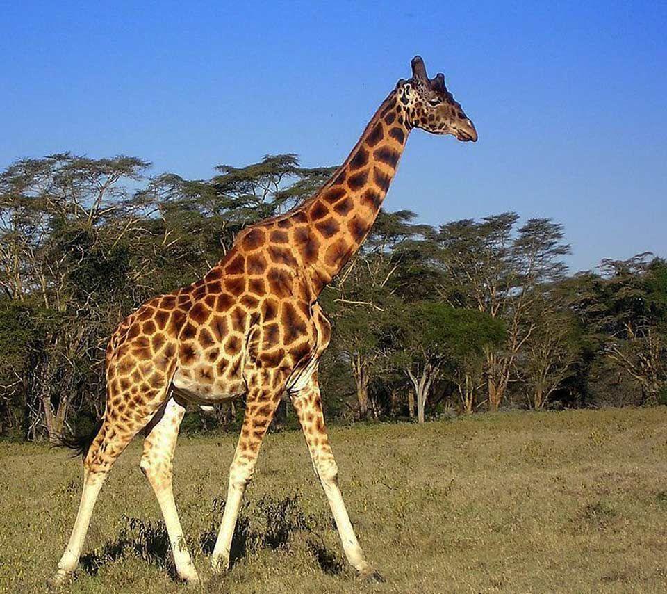 giraffe Google Search Animal Reference Pinterest