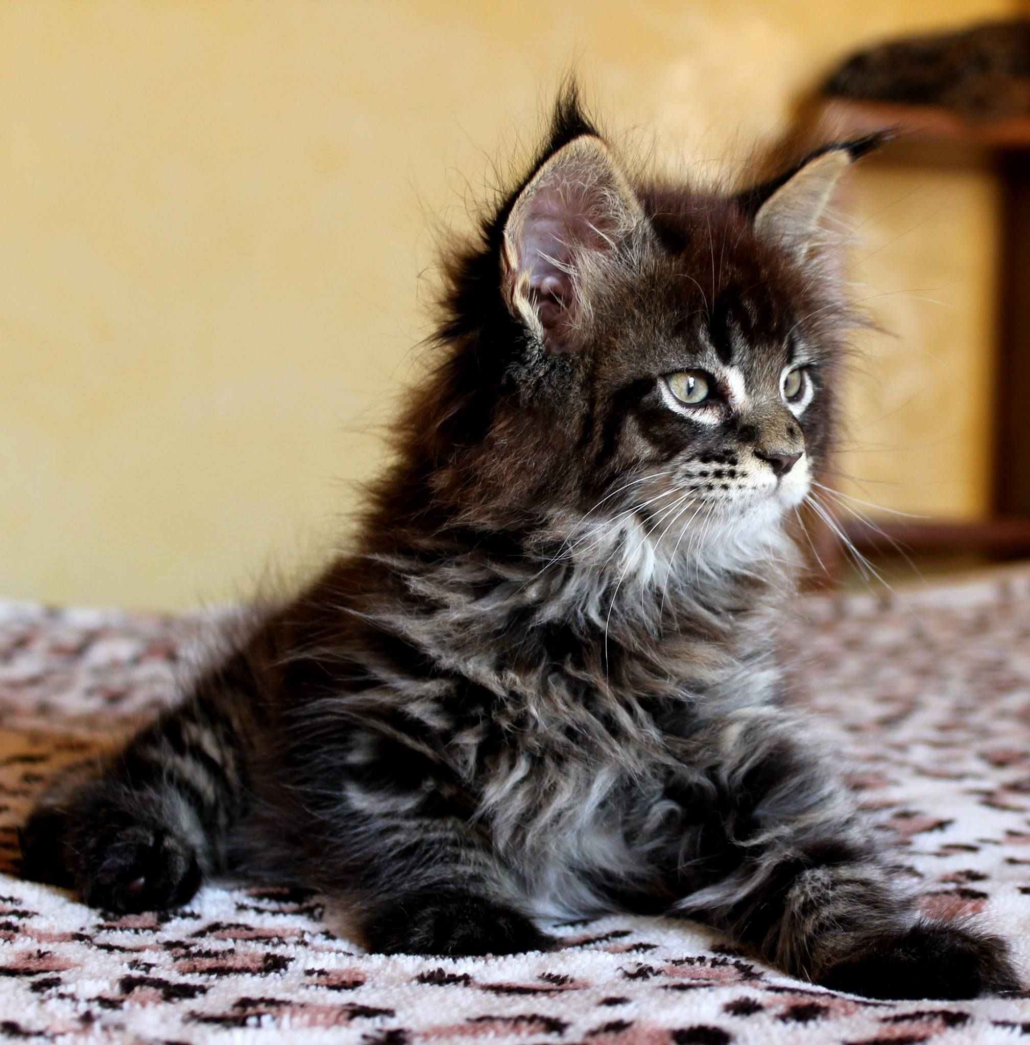 Victor Scameron brown tabby maine coon kitten In memory