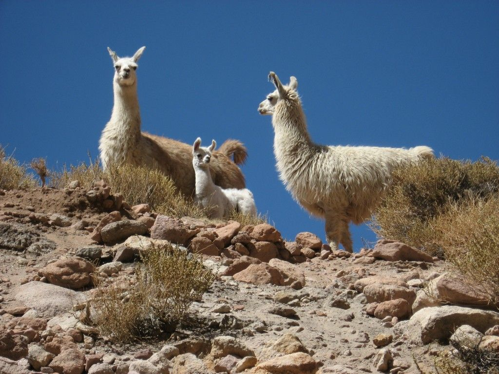 Atacama Desert Plants And Animals Clinic Plants and