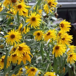Tall yellow perennial sunflower flowers gardening flower and tall yellow perennial sunflower flowers lemon queen sunflower perennial tall late blooming sunflower mightylinksfo