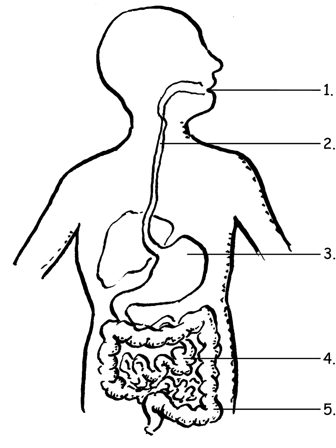Digestive System Label