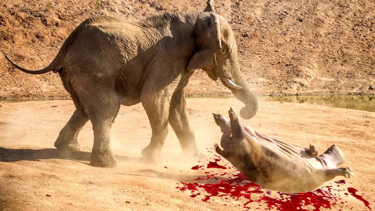 elephant attacks hippo in south africa | most amazing wild animal