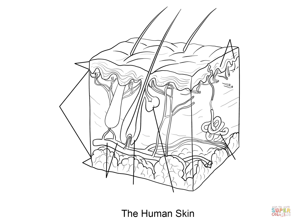 Human Skin Coloring Page Dermis Subcutaneous Tissue