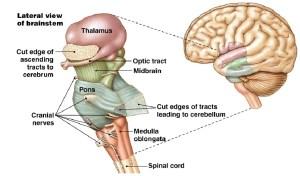 brainstem | brain stem | Neuro | Pinterest