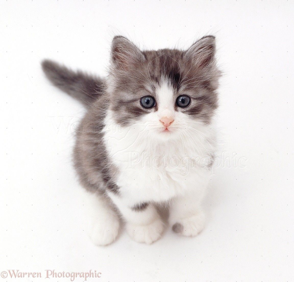 grey and white kitten Google Search Cats and Kittens