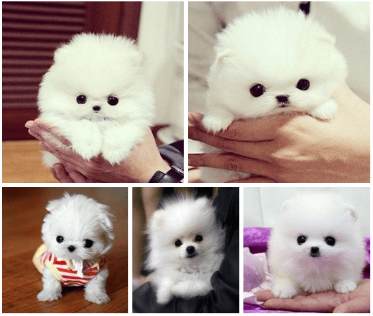 Oh my gosh i want this puppy!!! Cute Love ILovePuppies