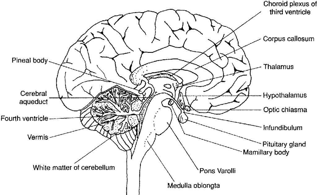 brain labeling worksheet