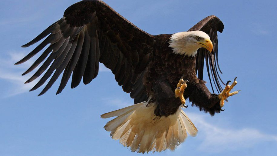 Bald Eagle Attack With Strong Sharp Claws Desktop Wallpaper HD For Mobile Phones And Computers