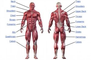 human muscular system diagram unlabeled  Google Search