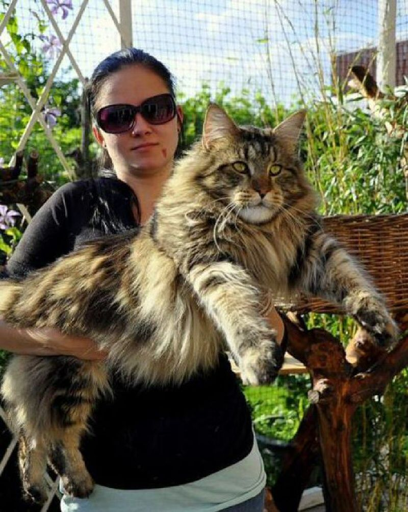 I kitties . . . Huge Maine Coon Cat. Insanely