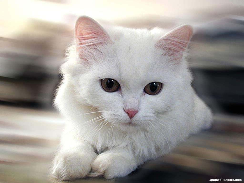 download cats wallpaper, 'white cat'. -learn more about how to