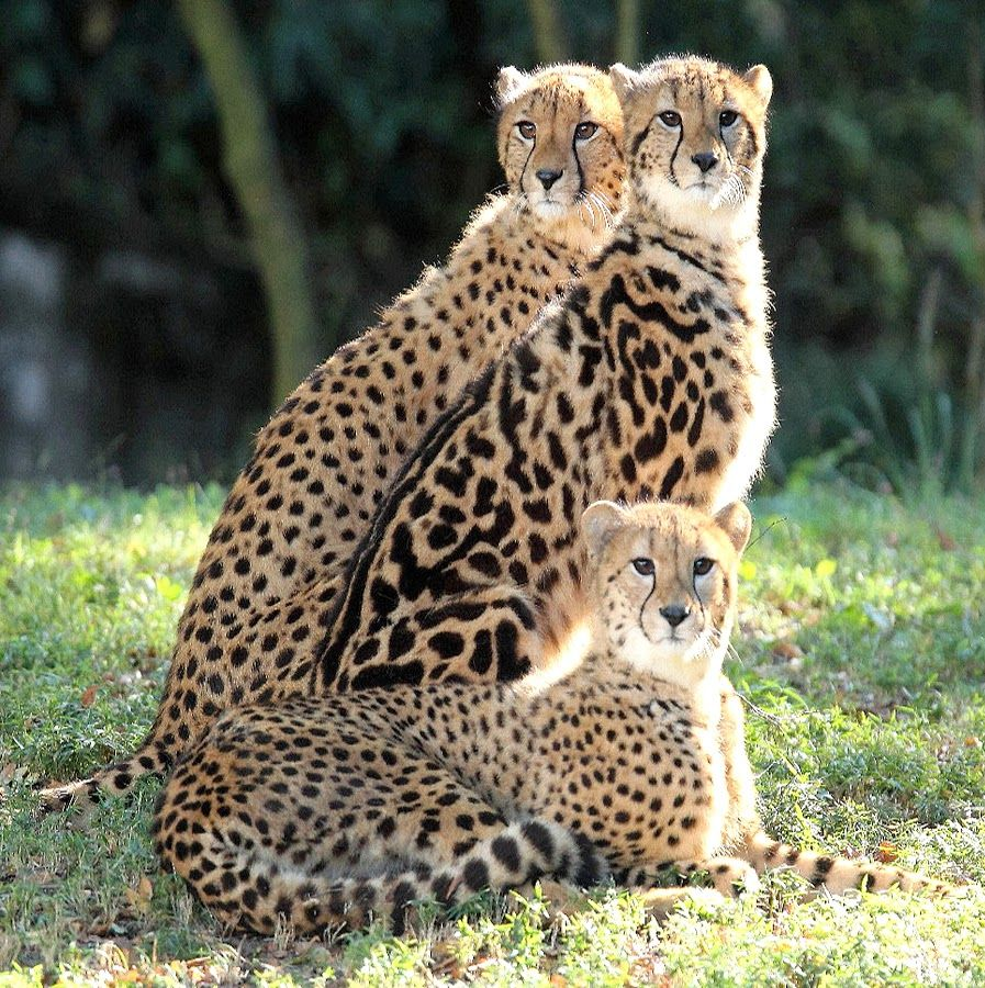 SD1V0541 Cheetahs, Animal and Cat