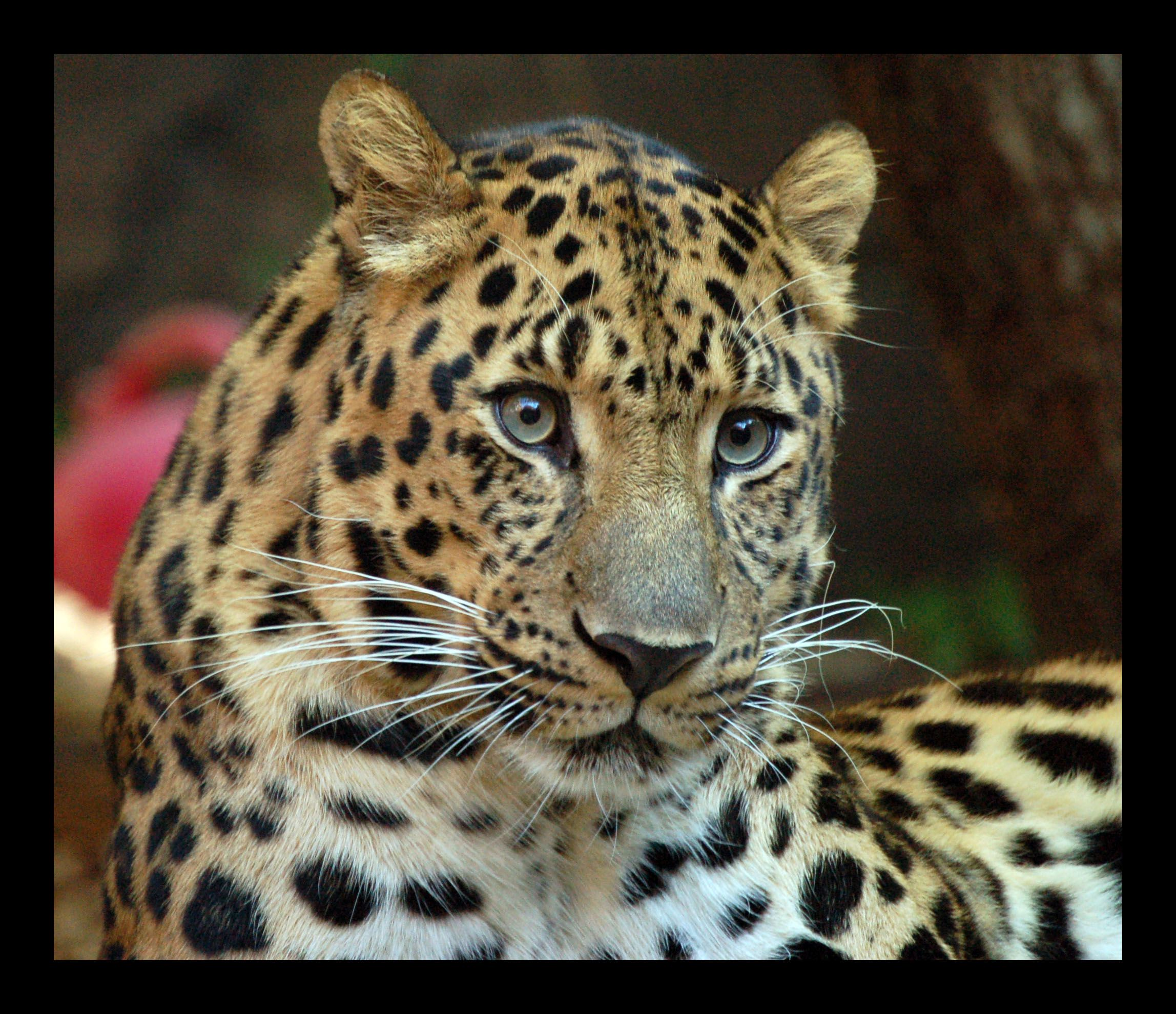 Critically endangered Amur leopard only 35 left in wild
