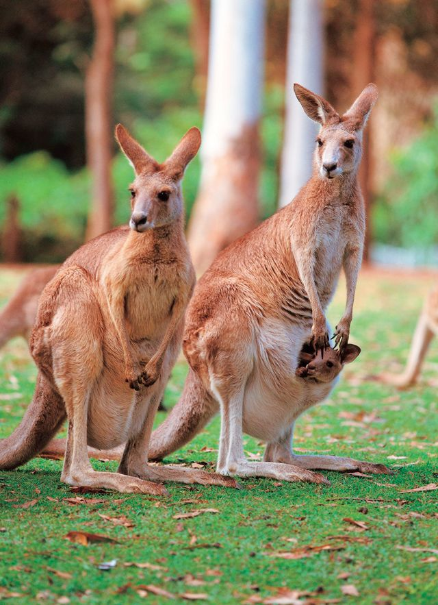 Kangaroo with a Joey (baby) in her pouch Six Unique
