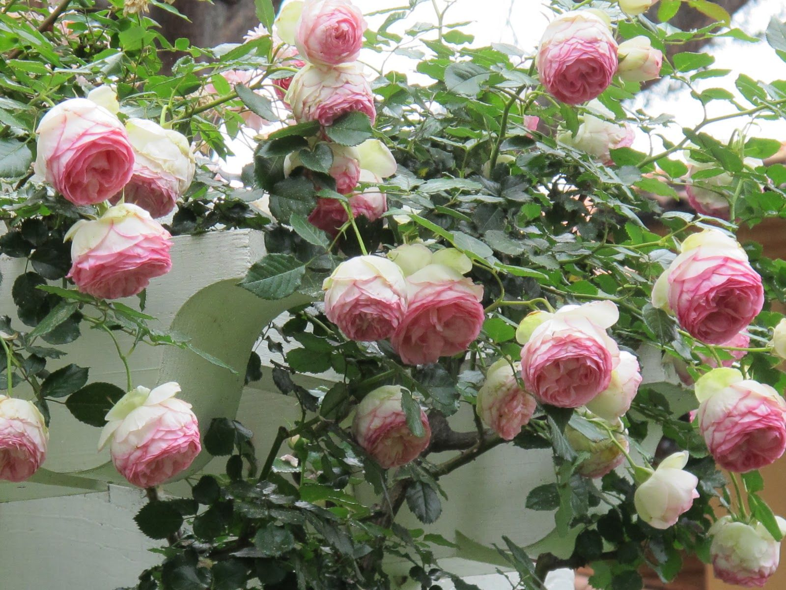 French climber rose Pierre de Ronsard rose, or Eden as it