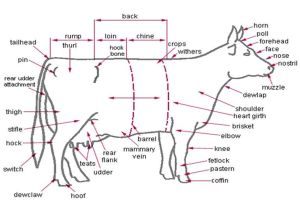 Anatomy  External Parts of the Dairy Cow | Cow  Bull