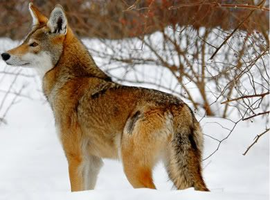 Image result for picture of female red wolf