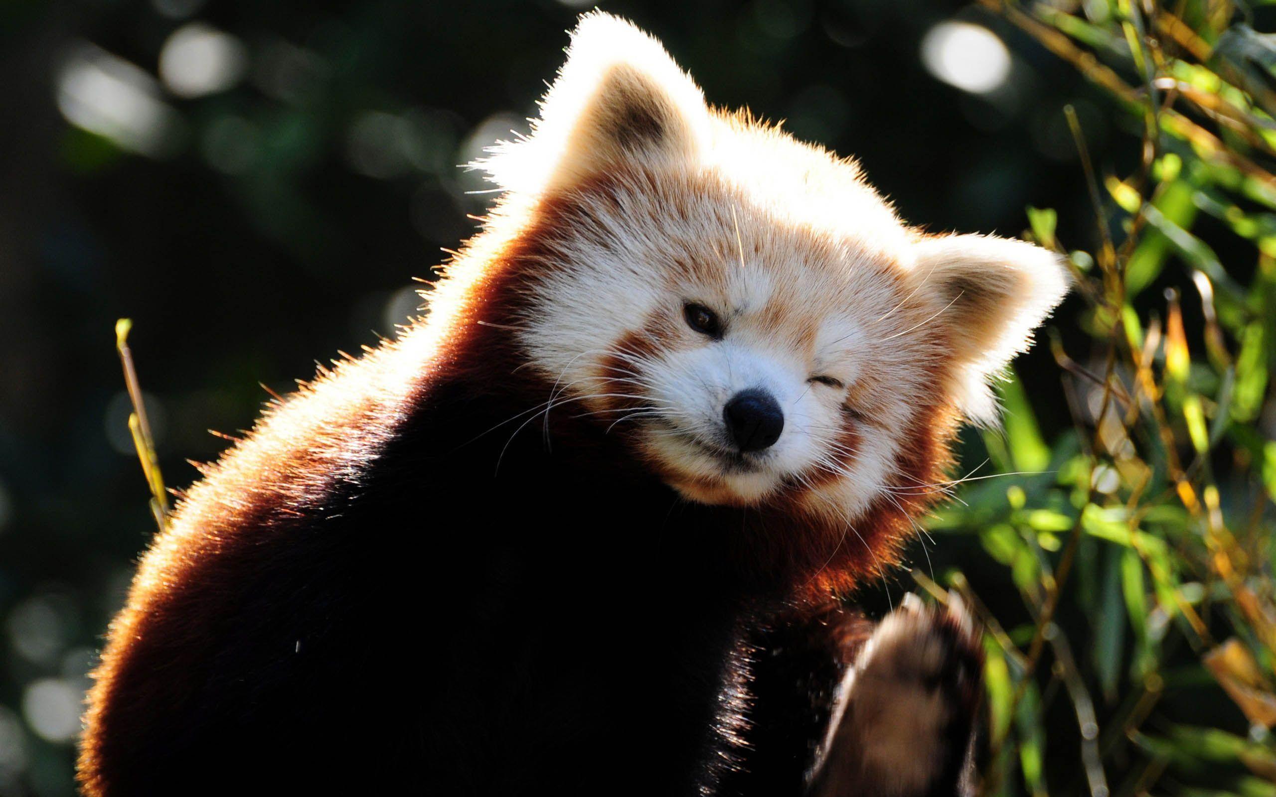 cute red panda Google Search Dignity Pinterest