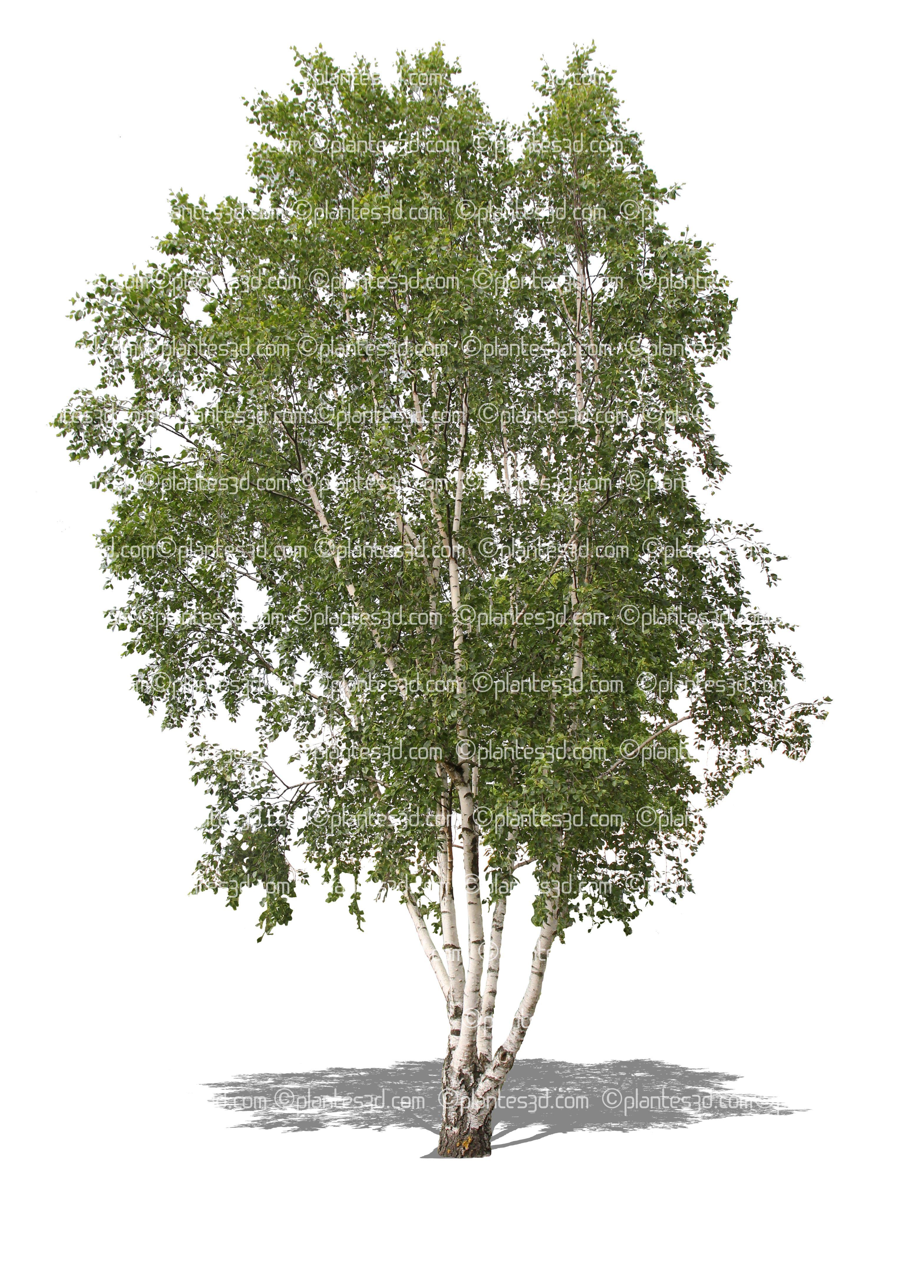 Betula albaBouleau blancArbre détouréplante détourée