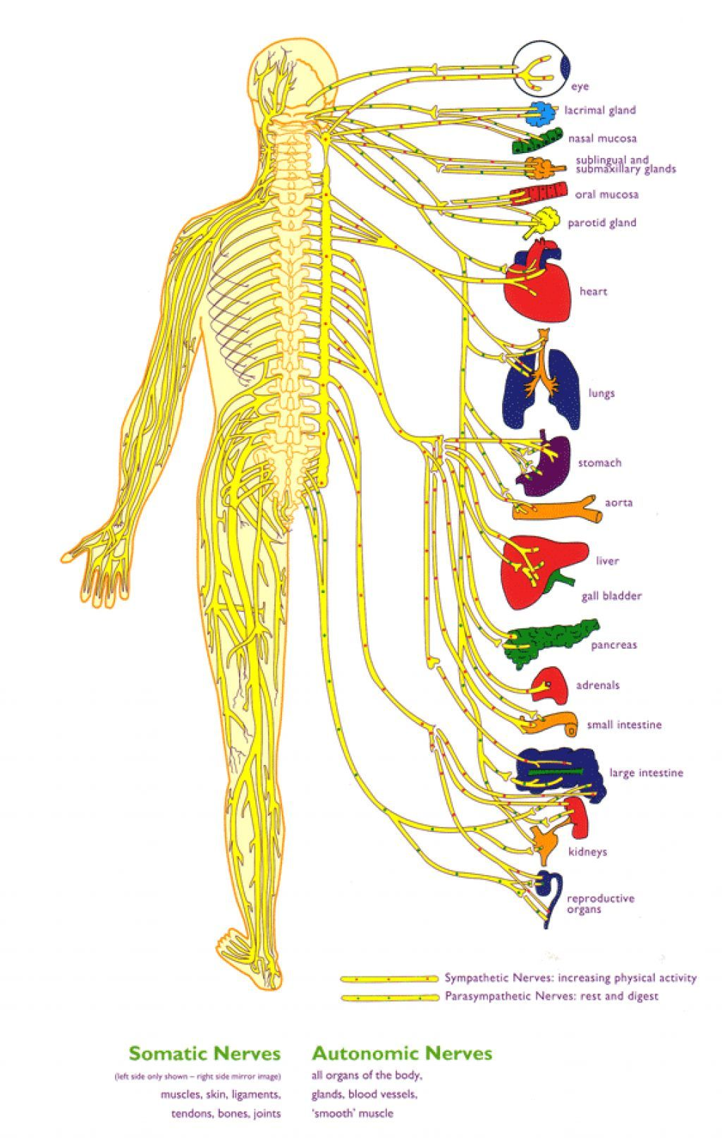 Beginner S Guide To The Human Nervous System
