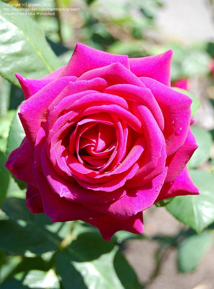 Full size picture of Hybrid Tea Rose 'Big Purple' (Rosa
