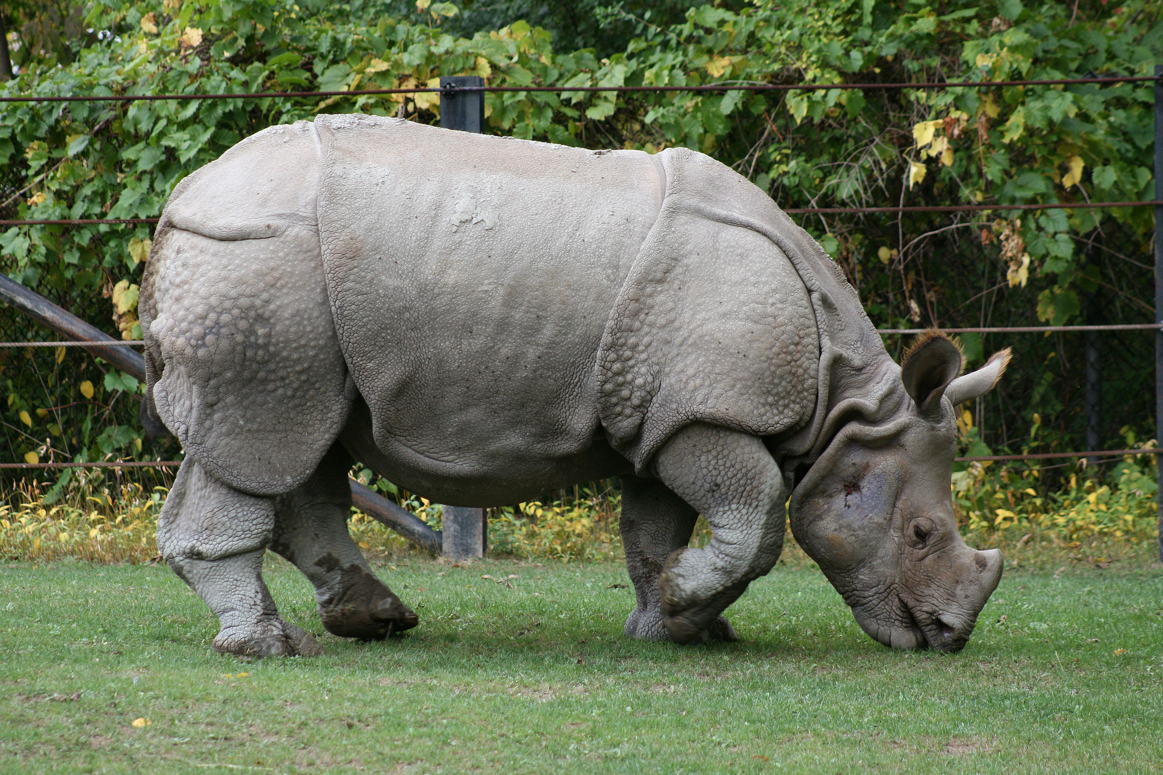 10 Most Endangered Animals in the World Rhinoceros