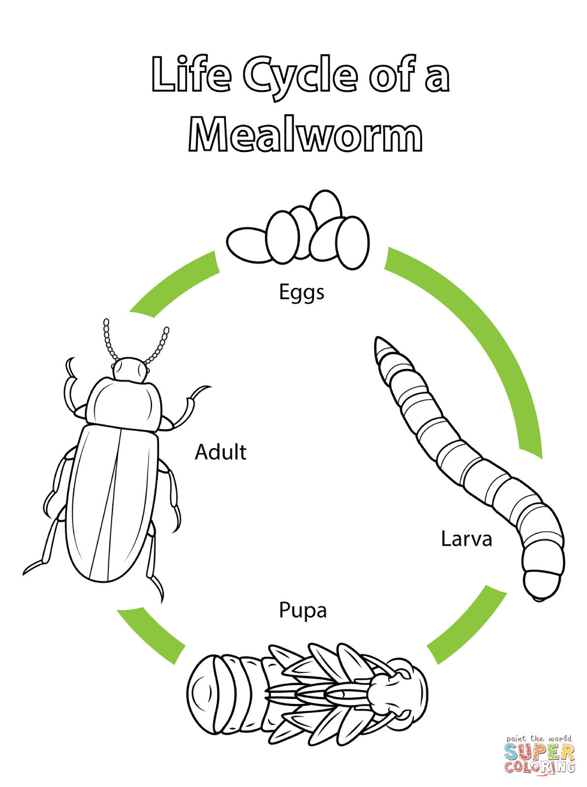 Life Cycle Of A Mealworm