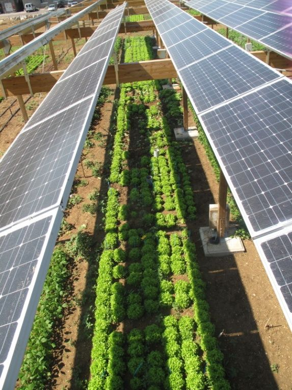 Combining solar photovoltaicpanels and foodcrops for