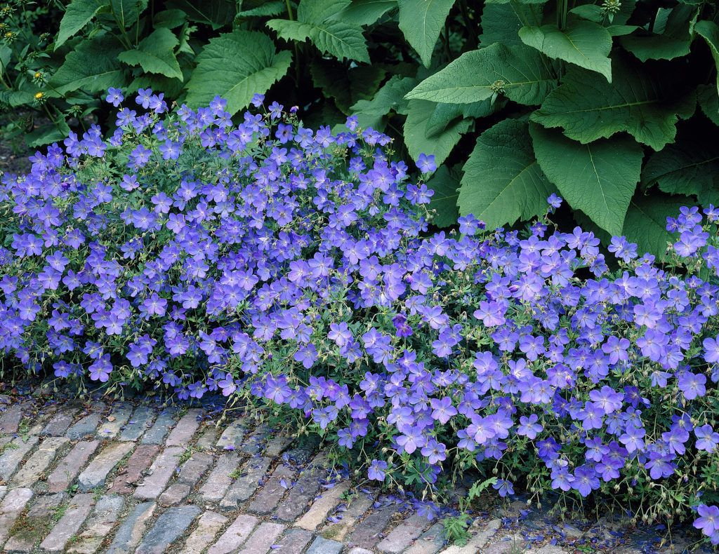 Carpet Geranium • Geranium incanum • Crane's bill