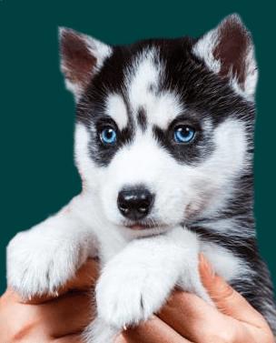 Pomsky puppies for sale australia My Cute Pomsky