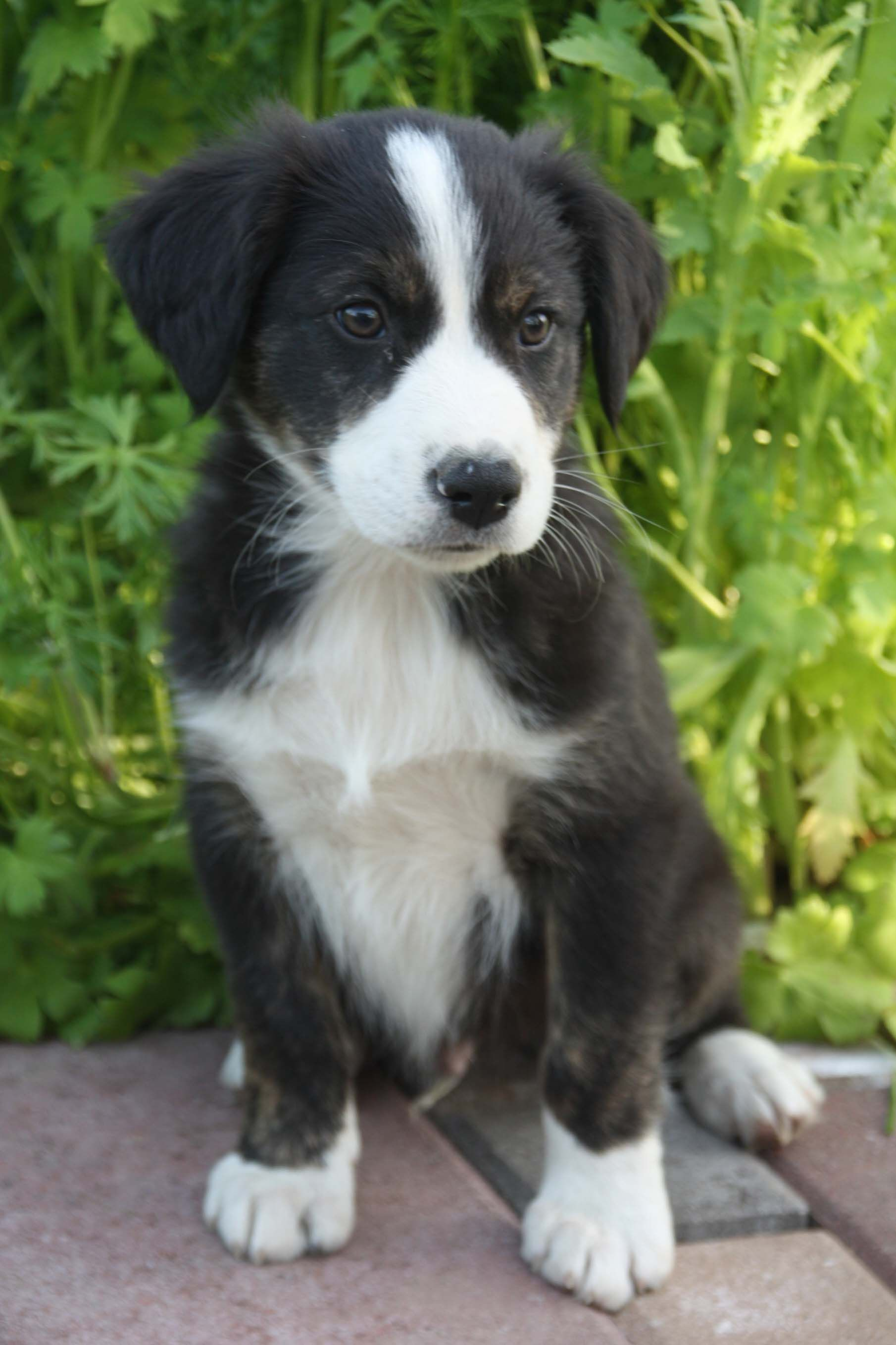 Farm collie/Farm Shepherd dog photo English Shepherd