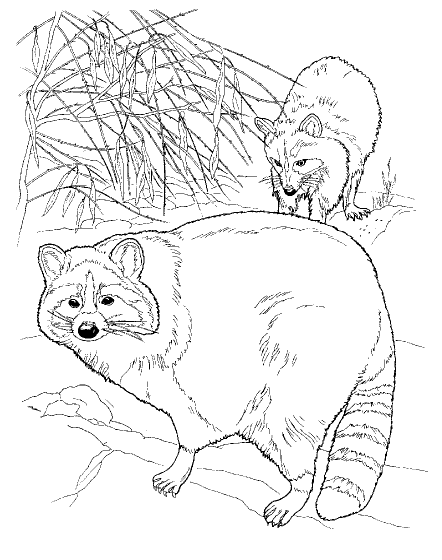 Raccoons Coloring Page Nature Crafts And Ideas Pinterest