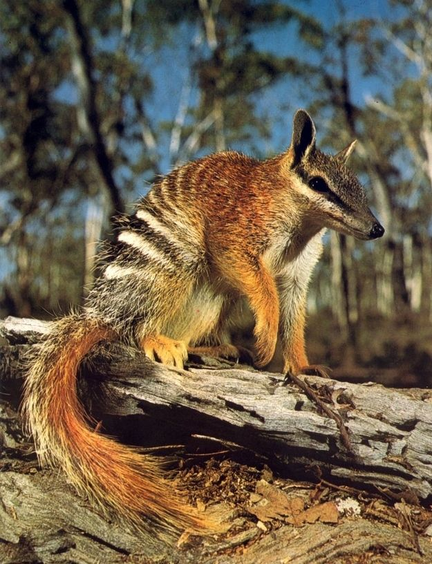 Your New Favorite Animal Numbats! Western australia
