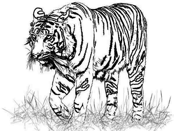 coloring pages free coloring pages and tigers on pinterest