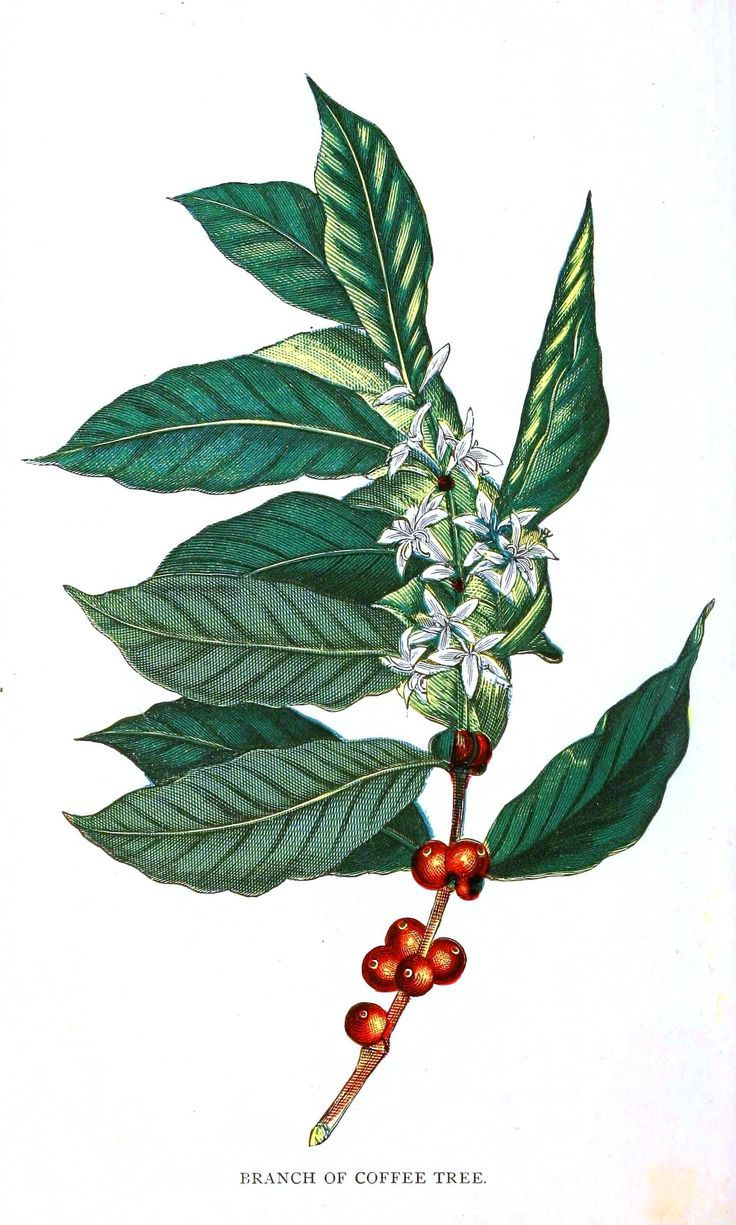 coffee plant illustration Google Search Coffee Coffee