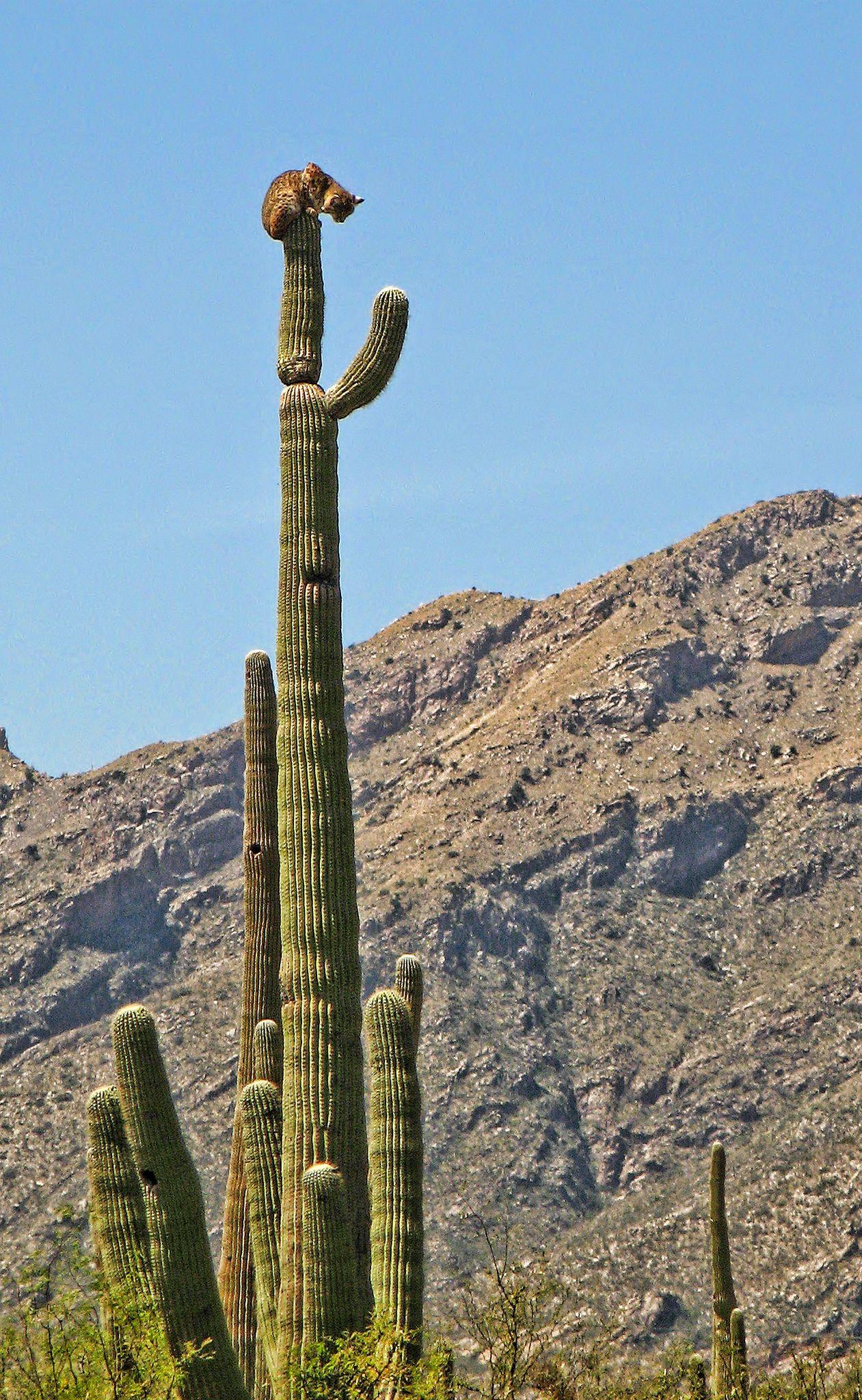 bobcat on saguaro cactus, Sabino Canyon Cacti, Animal