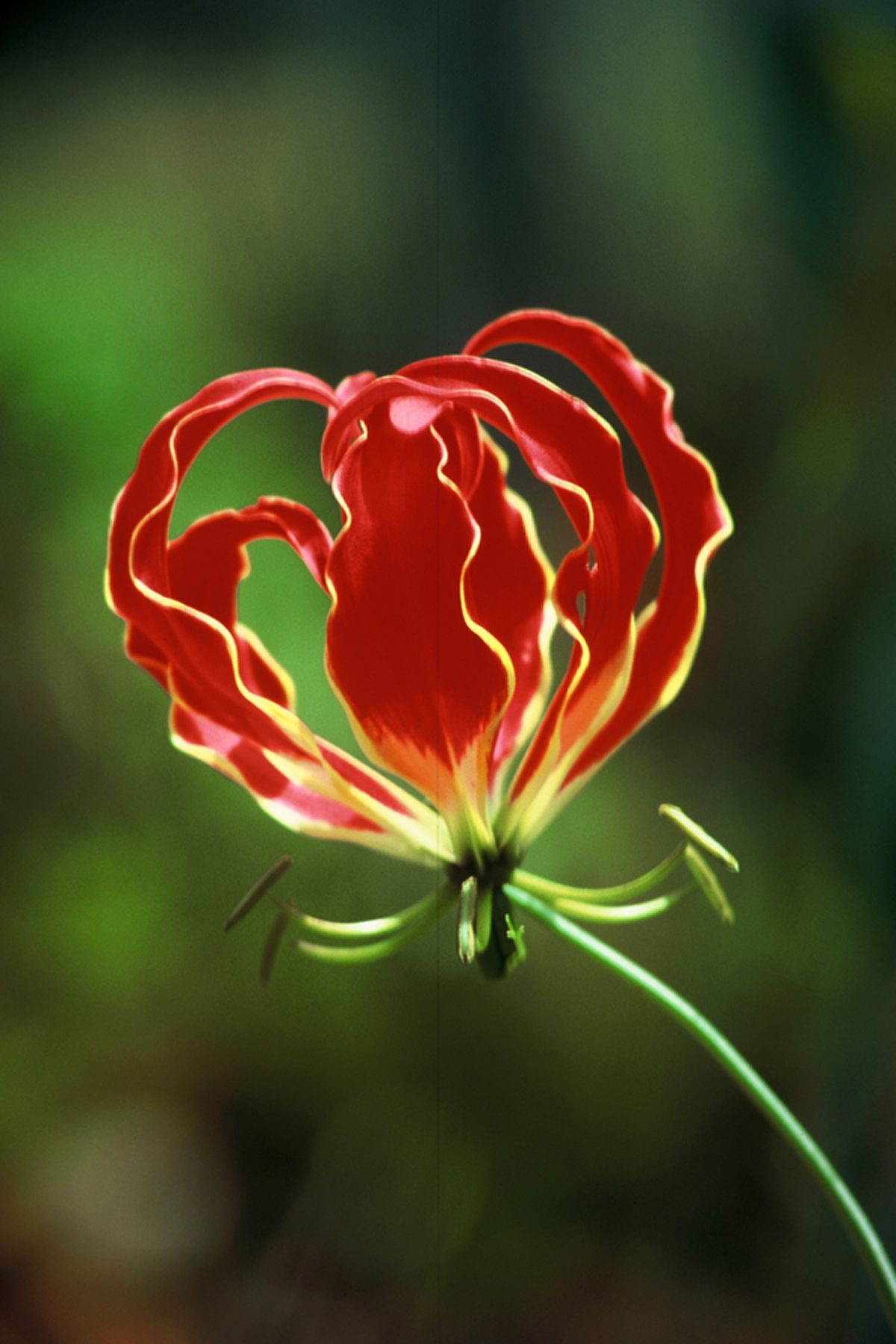 "FlameLilly ""gloriosa superba"" . The national flower of"