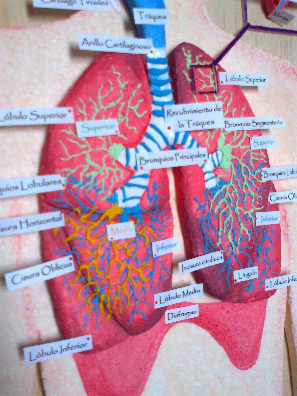Imagenes De Sistemas Digestivos