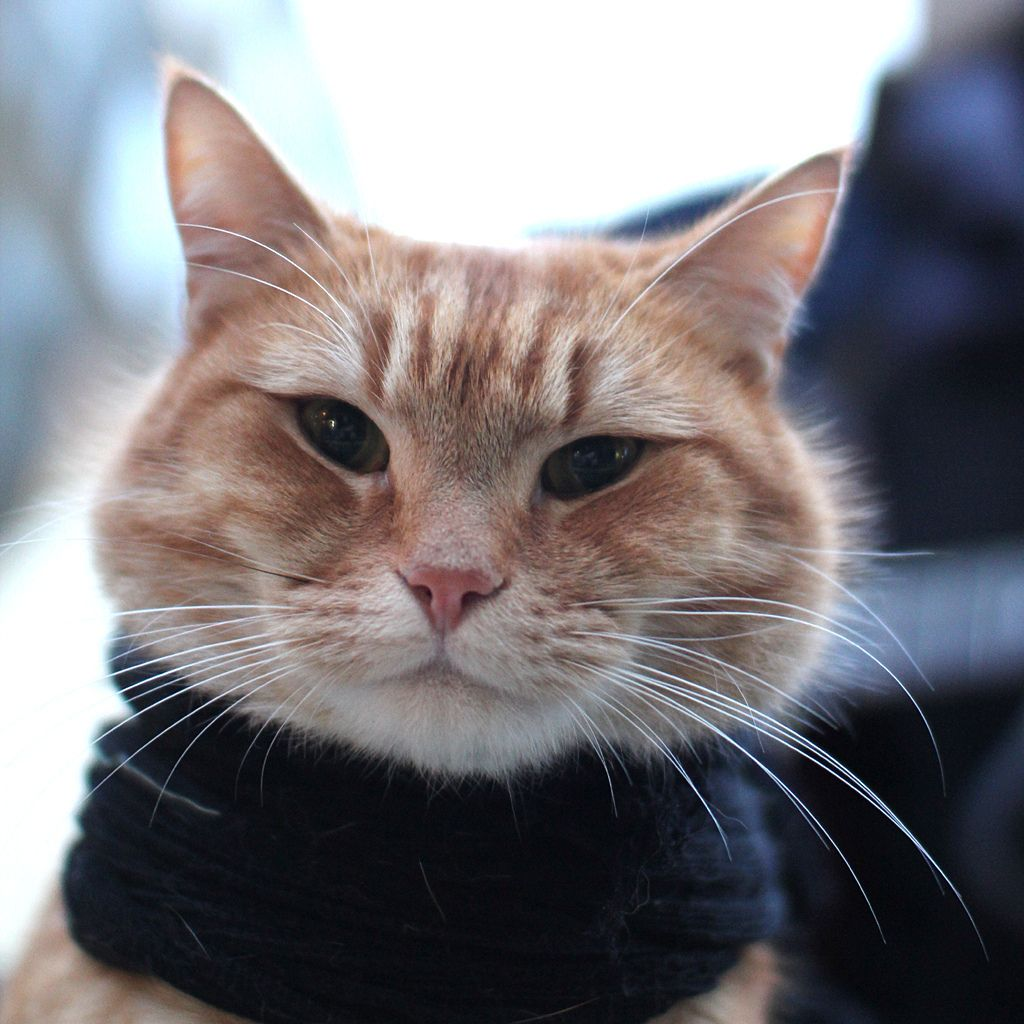 Bob the Big Issue Cat Flickr Photo Sharing! BOB the