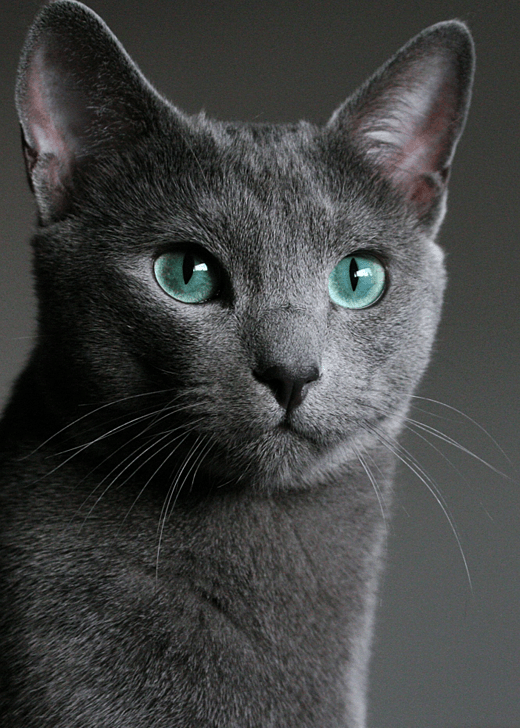 Why Do Cats Meow At Humans Russian blue, Environmental