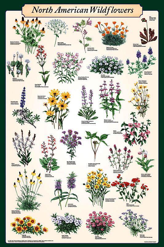 North American Wildflowers the crone's herbal
