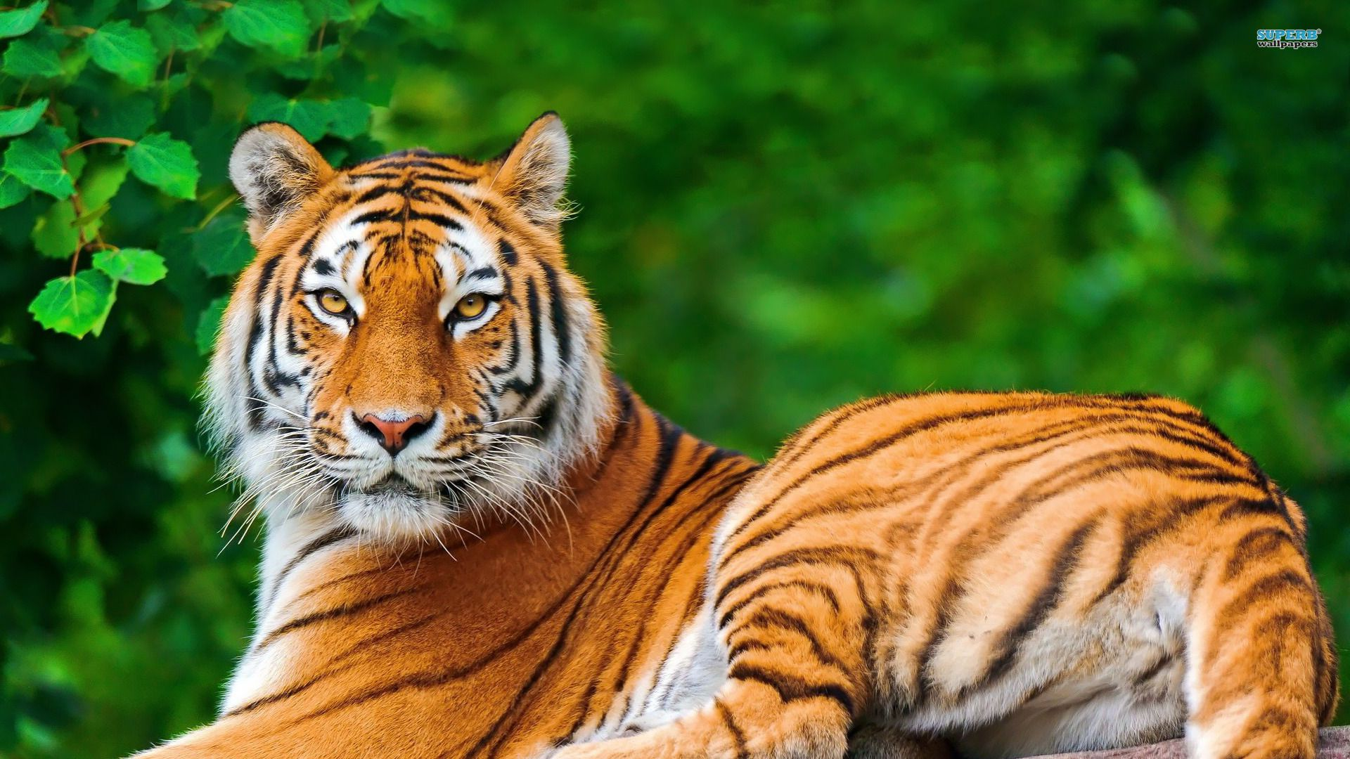 Tiger Animal Wallpaper HD 8 For Desktop Background