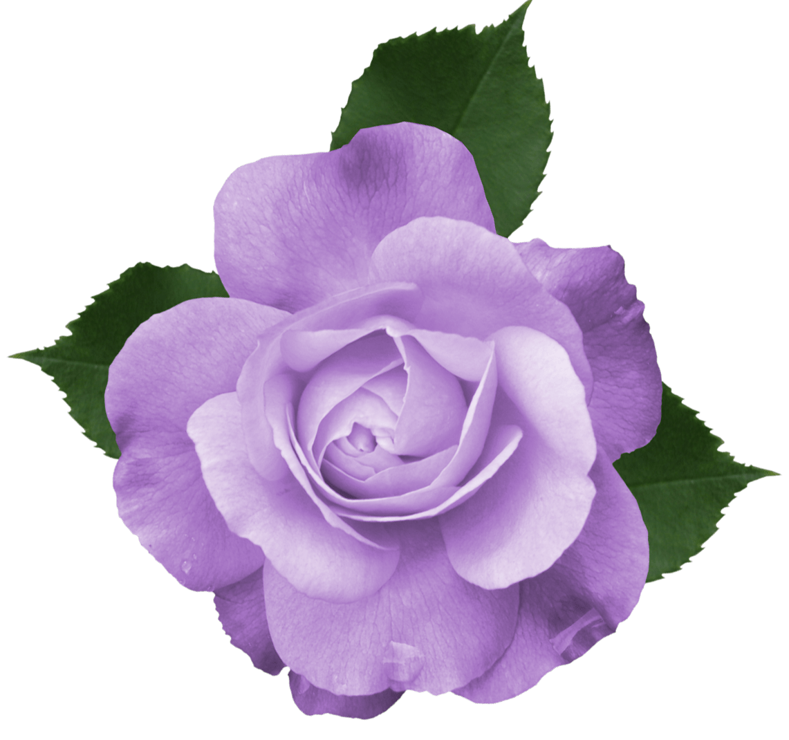 Beautiful Transparent Lilac Rose PNG Picture backgrounds