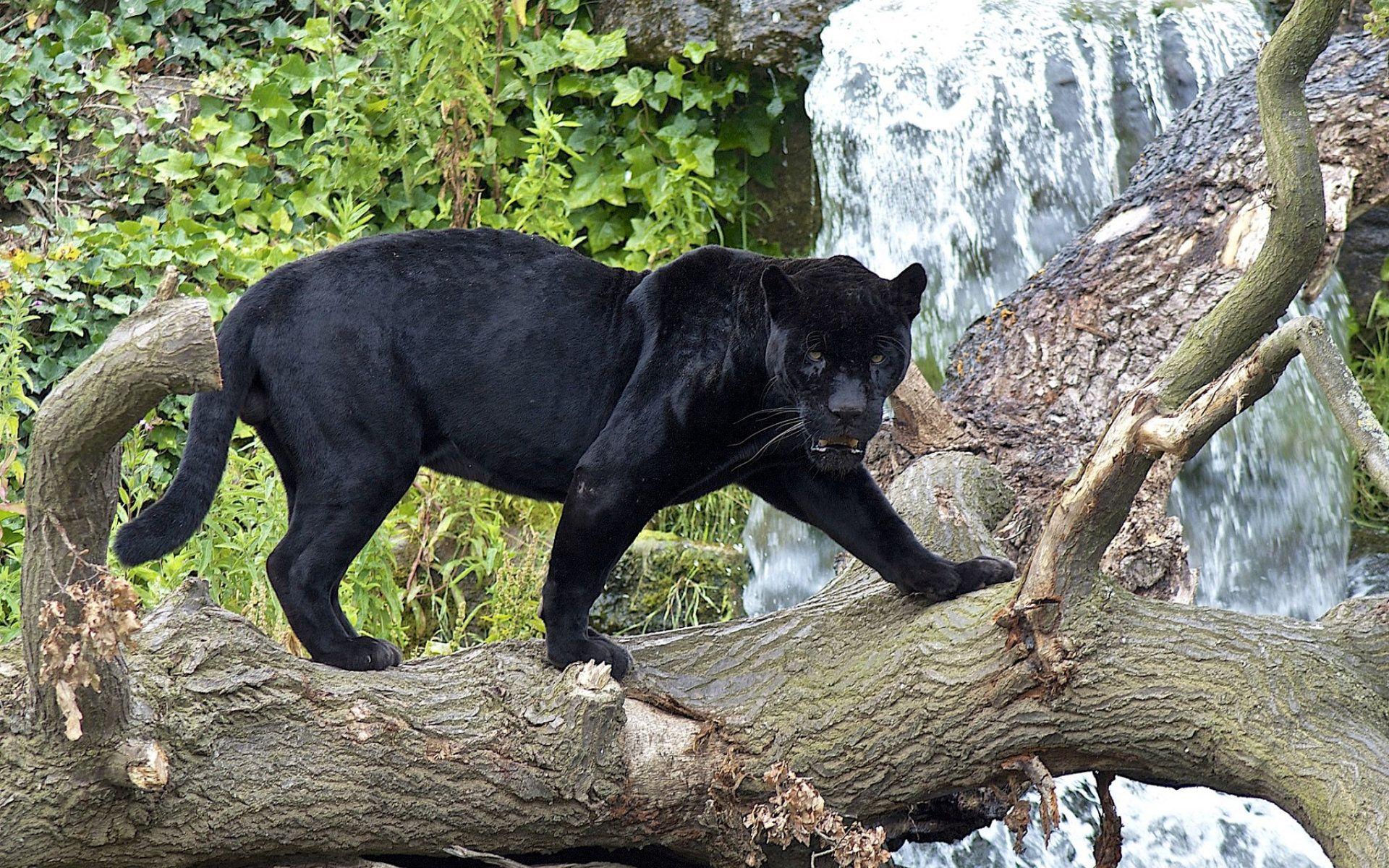 Animal Black Panther Panther Wallpaper Felinos