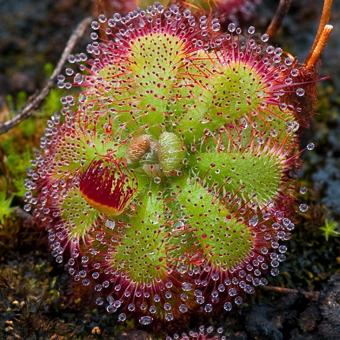 Drosera, a sundew plant Science & Nature Pinterest