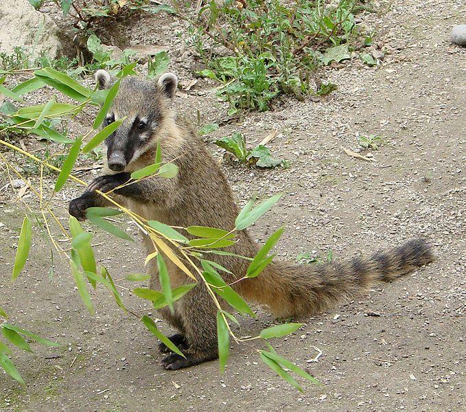 Coatis, genera Nasua and Nasuella, also known as