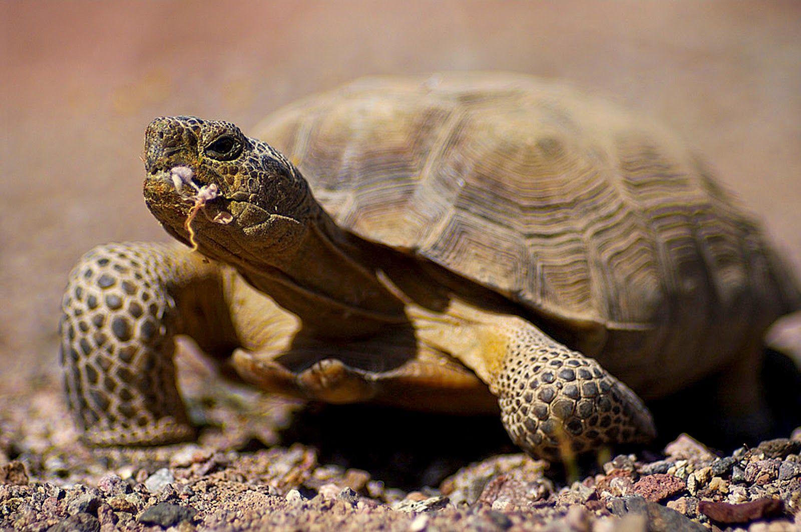 animals of the desert the desert tortoise is a herbivore
