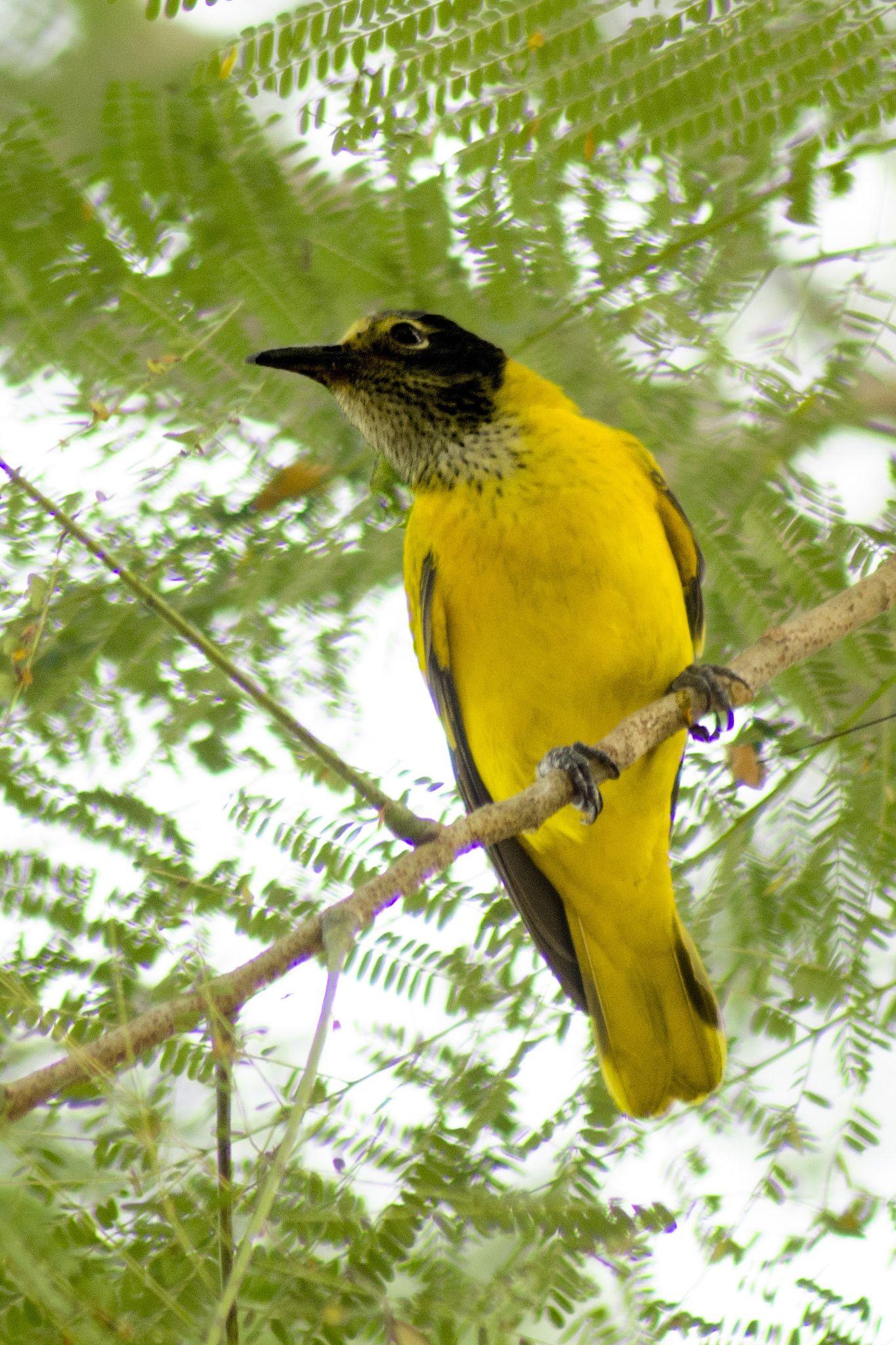 Black headed Golden Oriole bird nature animals yellow green