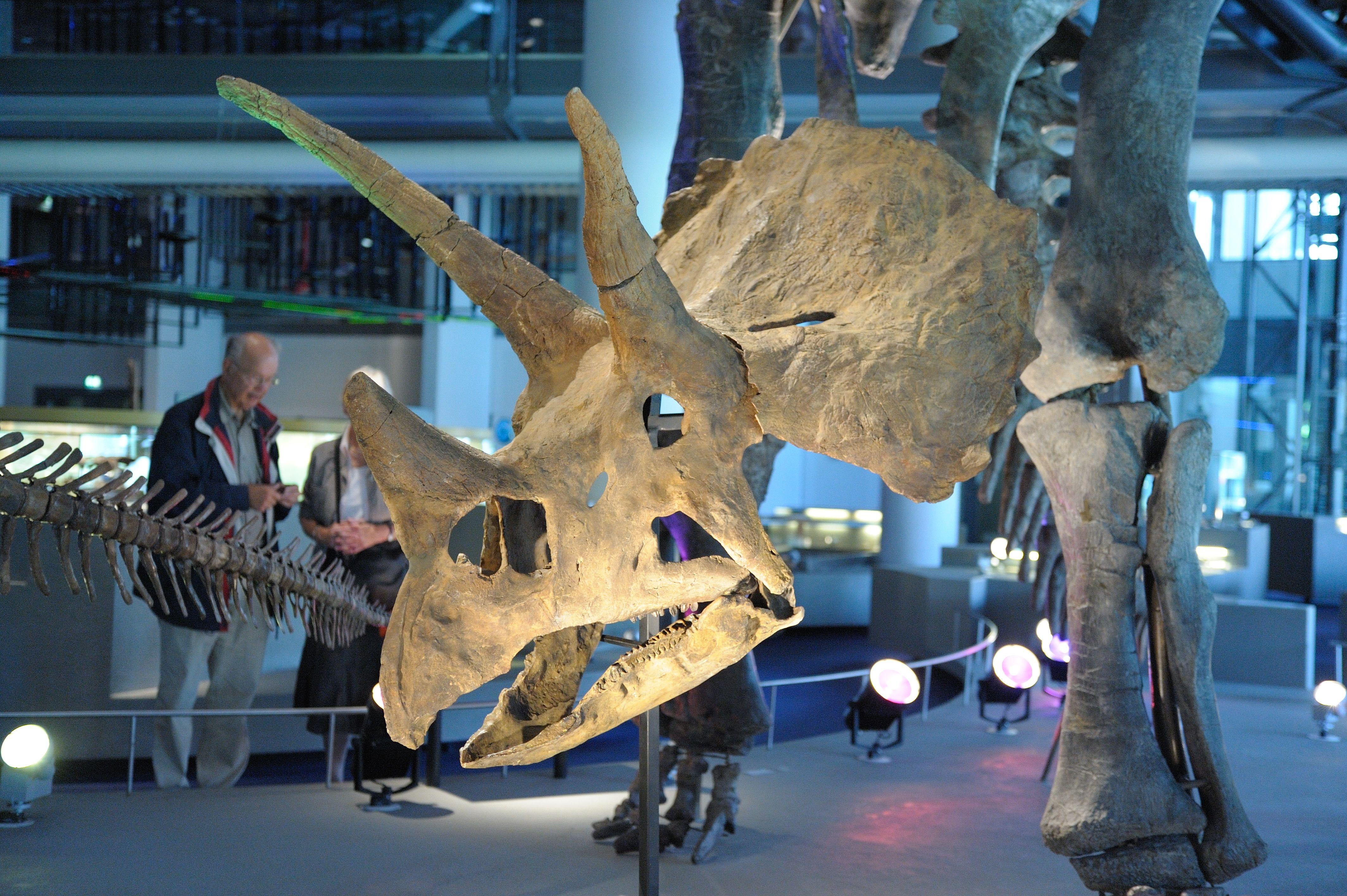 Triceratops In Oerparade Naturalis